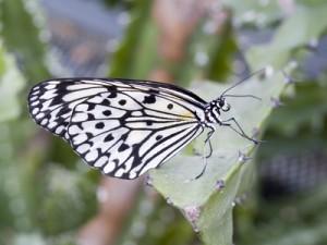 Schmetterling Brijuni