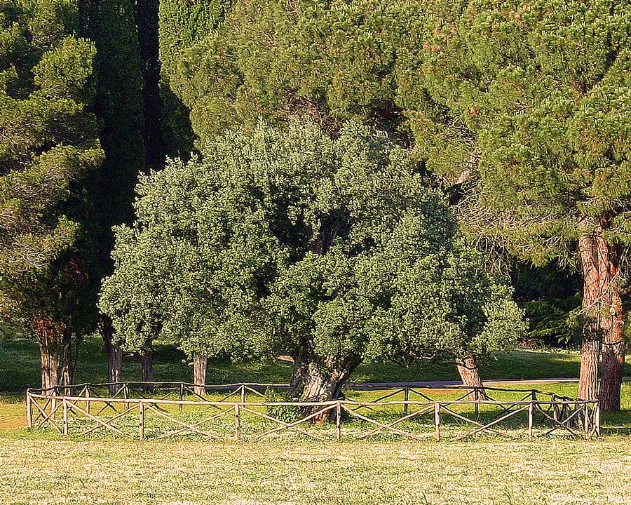 Der Olivenbaum auf Veliki Brijuni