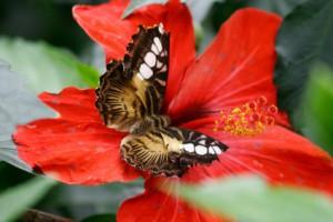Schmetterling auf Brijuni